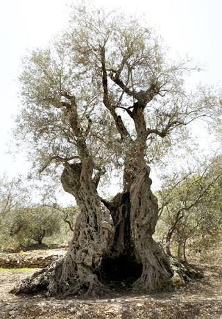 #20 The Terebinth Tree Of Moreh